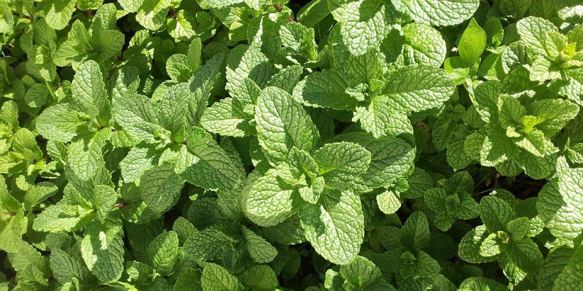 Alimentation : les meilleures herbes aromatiques pour votre santé