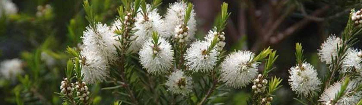 Comment utiliser l'HE Tea Tree/Arbre à thé pour lutter contre l'acné, les soins des cheveux gras ?