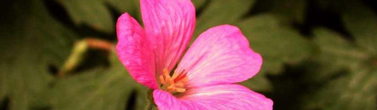 L'huile essentielle de geranium rosat