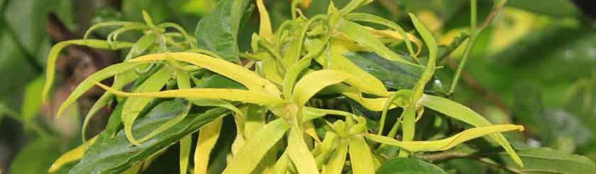 L'huile essentielle de Ylang ylang