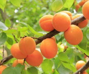 Crème pour les peaux normales à l'huile d'abricot