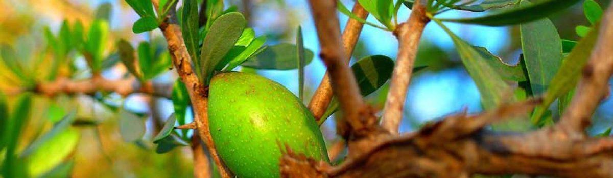 L'huile d'argan, l'elixir de jeunesse…..